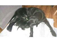 Puppy - Black Labrador Retriever