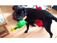 Bella Rottweiler X mastiff