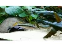 Fish Kribensis