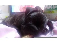 **French bulldog pups kc reg**