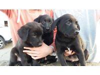 Labrador Border Collie cross pups for sale Ballygowan, Co. Down