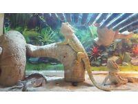 Vivaruim and Lizards for sale