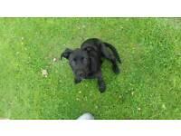 Black lab x staffy puppy