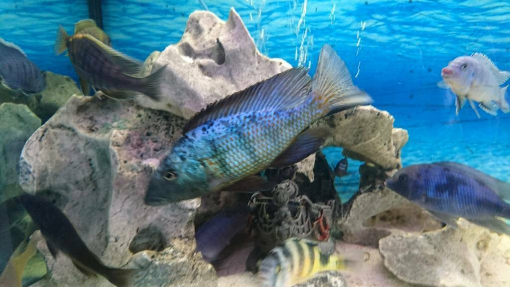 Cichlids and ornaments updated