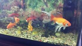 Fishtank with 7 gold fish 4 sale