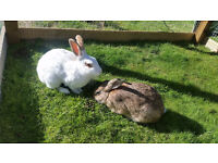 Bonded pair of large, neutered male rabbits (outdoor)