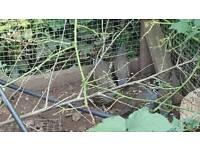 californian African harlequin bluescale quail