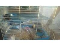 Baby fancy mouse forsale