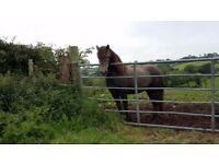 Connemara Type Pony 3 year old Grey Unbroken 12.2hds