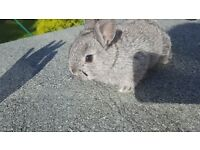 Netherland Dwarf Baby Rabbits For sale