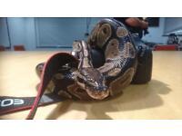 Royal/ ball python snake