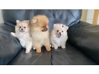 BEAUTIFUL POMERANIAN GIRL PUPPIES