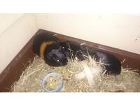 2 male baby guinea pigs, not even a year old looking for a lovely home