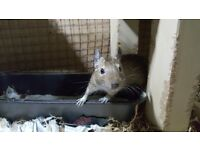 1 Male Degu needs home ASAP Free to good home