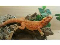 Female red trans, stunning dragon plus alot of accessories and 4foot viv