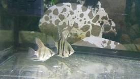 fish (angle fish x3)