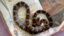 male mex mex king snake