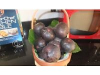 FIG & VINE TREES Origin Naples Italy, well acclimatized to this country for the last 50 years