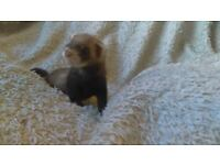 Ferret kits available now* 5 Hobbs and 1 Jill Left*