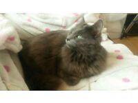 Grey Cat Missing in Broadstone