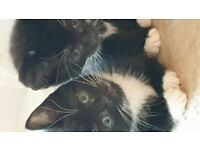Friendly tuxedo kittens black with white paws