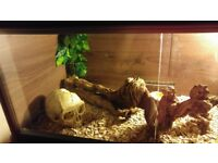 Tame Corn snake and full set up