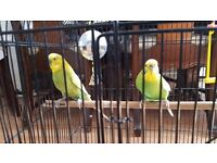 For Sale - Two Lovely Budgies (Male & Female) with Cage - £60