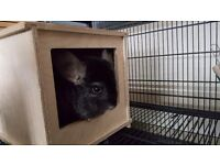 Chinchillas with cage