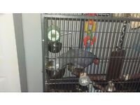 African grey parrott with cage