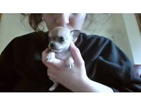 3 Tan Teacup Chihuahua Puppies for sale, £2500