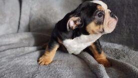 KC English Bulldog Puppies