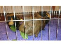 three female guinea pigs (sisters) plus 4ftx2ft cage