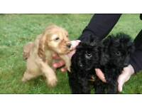 Cockapoo Pups for sale