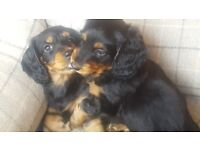 Dachshund Puppies. Standard, Long-haired, Black 'n Tan. Top Bred, Adorable. 2 Boys Left