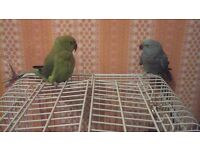TWO PARROTS WITH CAGE /QUICK SALE