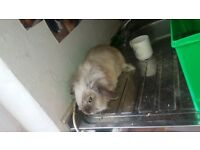 adult rabbit for sale (1 years old)(female)