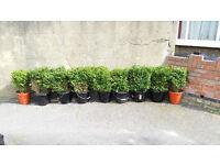 Mature Box Hedge Plants