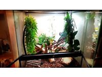 Crested gheckos 2 male and female pair everything included set up viv lighting decor