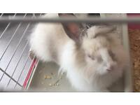 Lion hair rabbit
