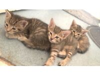 Bengal mixed Kittens for sale (2girls 1boy)