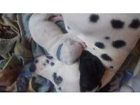 Dalmatian puppies 2 boys left