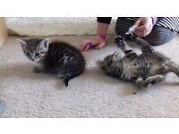 Male kittens black and white beautiful twin brothers