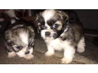 Lhasa apso puppies for sale!!