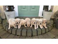 Golden Retriever pups KC registered