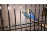 2x budgies with cage and accessories