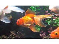 Oranda Fancy Goldfish