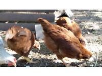 Hens For Sale (Welsh Blacktails)