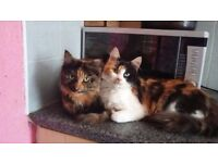 Black/ginger female cat free for collection