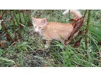 Stunning ginger male kittens for sale