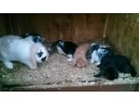 Mini lop rabbit's for sale